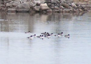 Flock of Goldeneyes